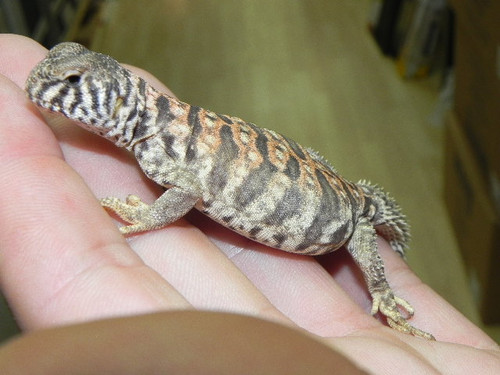 Baby Ornate Uromastyx for sale