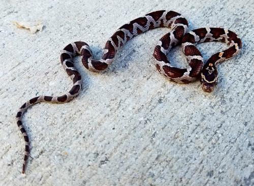 Miami Phase Corn Snake