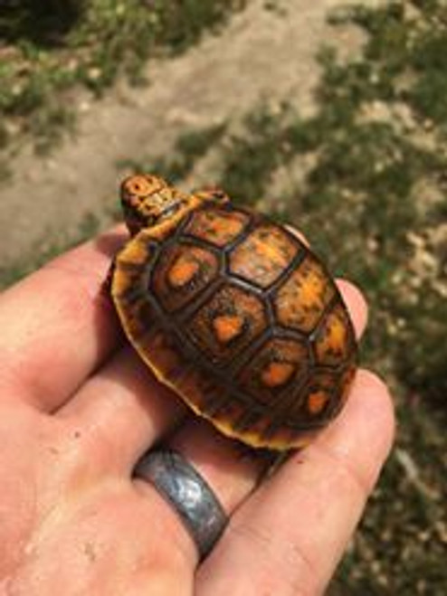 Fancy Red Foot Tortoise for sale (Chelonoidis carbonaria)