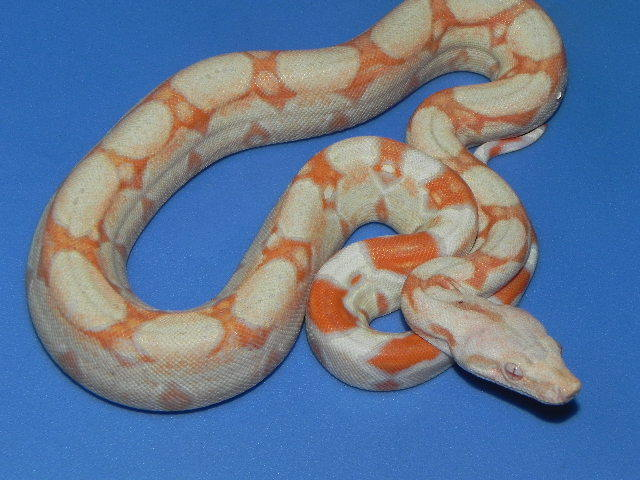One of Snakes at Sunsets high quality snakes for sale