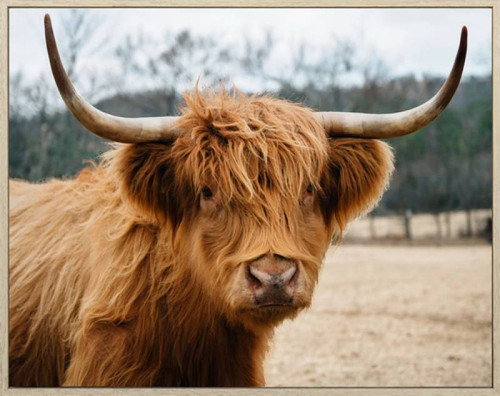 Missy Highland Cow Canvas