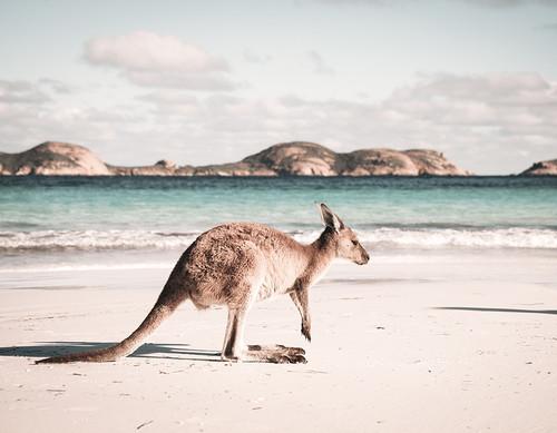 Beach Kangaroo Canvas
