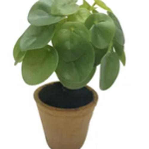 Money Plant W/Terracotta Pot 22cm
