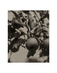 Alfred Stieglitz, Apple and Drops of Rain 11 x 14 Matted Print