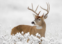 White-Tailed Deer Holiday Cards Holiday Cards