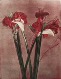 MFA Amaryllis-Calla II Holiday Cards