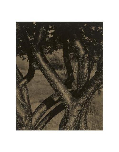 Alfred Stieglitz, Dancing Trees 11 x 14 Matted Print