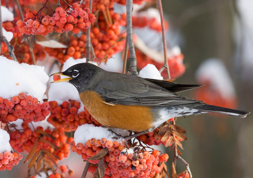 American Robin Holiday Cards Holiday Cards