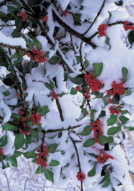 Holly Branches in Snow Holiday Cards Holiday Cards
