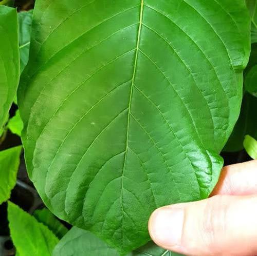 Bumblebee kratom leaf