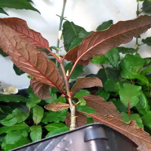 Borneo kratom plant