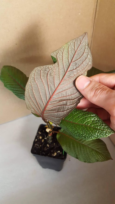 red vein kratom plant from Borneo