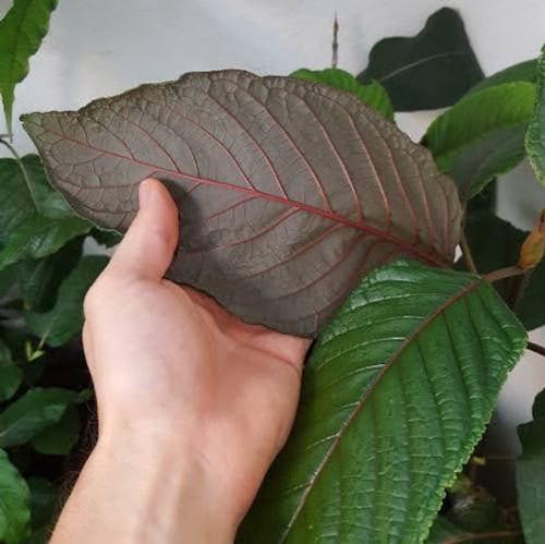 kratom plant from Indonesia