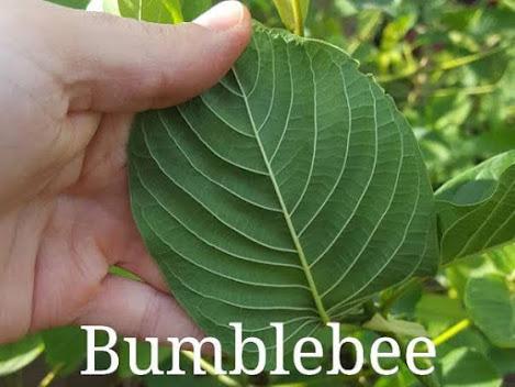click-buy-bumblebee-kratom-plants.jpg