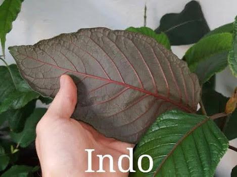 click-buy-indonesian-kratom-plants.jpg