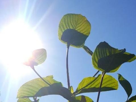 lighting-kratom-plant.jpg
