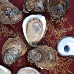 Totten Inlet Virginica Oysters (30 pcs)