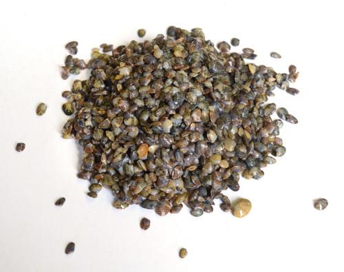 Manila Clam Seed