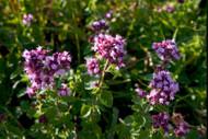 Why is North American Herb & Spice P73 Oreganol so good?