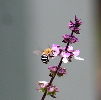 blue-banded-bee-on-holy-basil.jpg