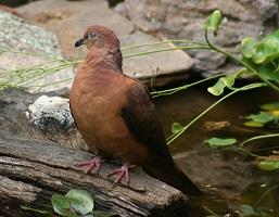 bworn-cuckoo-dove.jpg