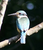 kingfisher1.jpg