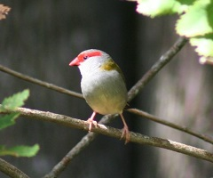 red-browed-finch.jpg