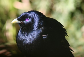 satin-bower-bird.jpg