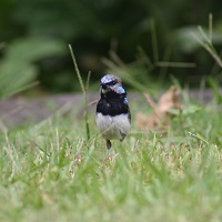 superb-fairy-wren.jpg