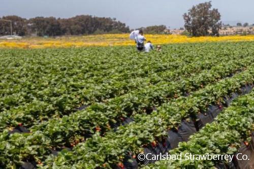 Carlsbad-flower field-strawberry-tour