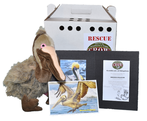 Adopt-A-Species: Brown Pelican