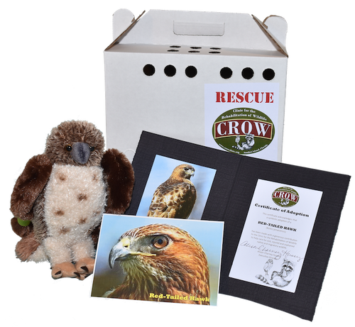 Adopt-A-Species: Red-Tailed Hawk