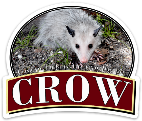 CROW Magnet, Gigi the Virginia Opossum