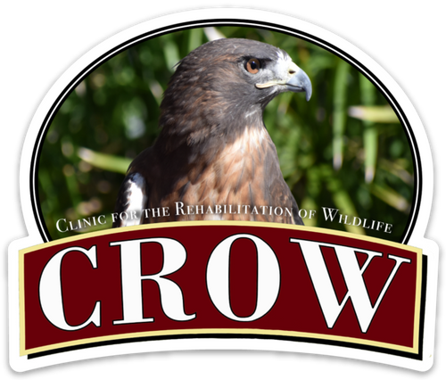 CROW Magnet, Talon the Red-tailed Hawk