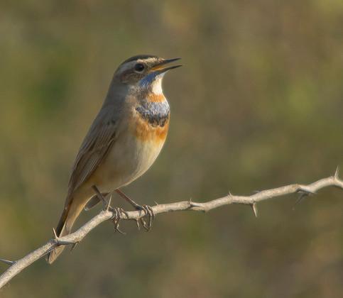 How to Identify Bird Calls This Summer | JCs Wildlife