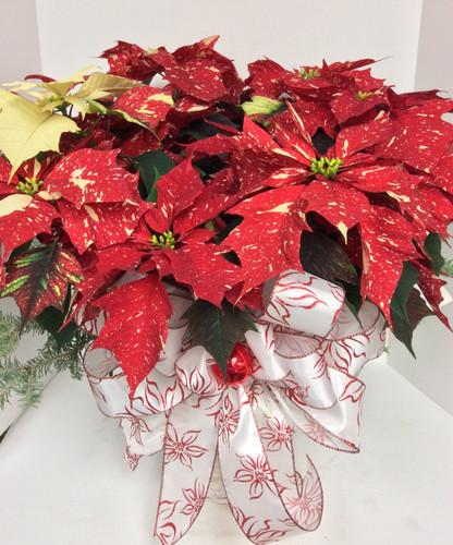 """8"""" Jingle Bells Poinsettia in basket with Fancy Bow"""
