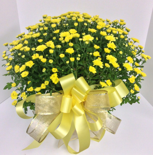 6 inch Hearty Mum in Basket with Bow