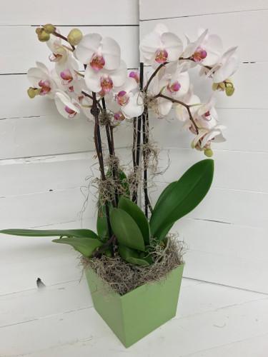 Phaeleonopsis Orchid Elegance