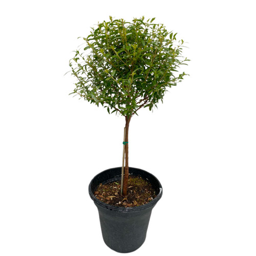 "Myrtle Topiary 6"" pot single ball - SKU 0002"