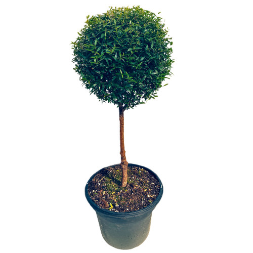 "Myrtle Topiary - 8"" pot single ball - SKU 0003"