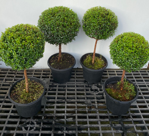"Myrtle topiary 4 pack in 8"" pots - SKU 0007"