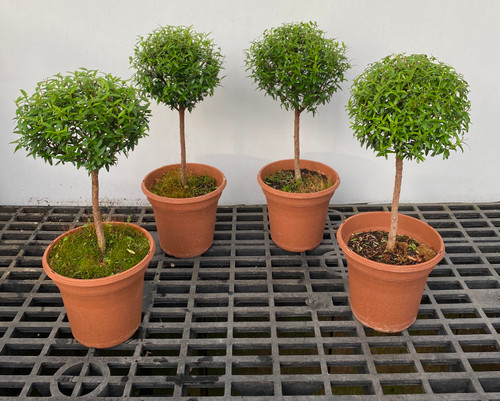 "Myrtle topiary 4 pack in 6"" pots - SKU 0008"
