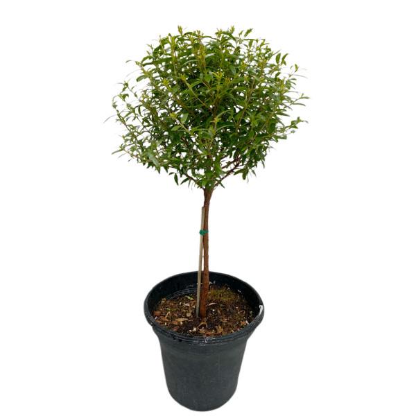 "Myrtle Topiary 6"" pot single ball -SKU 0002"