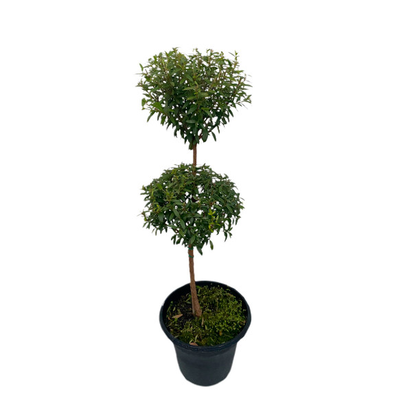 """Myrtle Topiary -6"""" pot double ball-SKU 0004"""