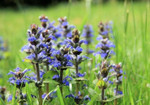 Bugleweed are normally bluish to purple but they can be found in white as well.