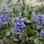 Bugleweed usually grows under 6 inches.