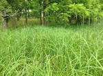Foxtail Sedge is a perennial clump-forming sedge, growing to 30+ inches high.