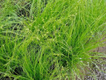 Appalachian Sedge, carex appalachica is a hardy, fast growing plant.