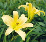 The trumpet-shaped flower blooms in May and June