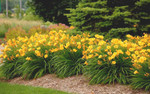 Yellow Daylily Plant is a Hardy and Adaptable Blooming Perennial